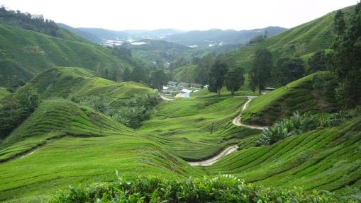tea-plantations-cameron-highlands