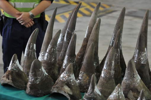 Rhinoceros horns are displayed in Hong Kong's Customs and Excise Department Offices on November 15, 2011. Hong Kong Customs on November 14, 2011, seized 33 unmanifested rhinoceros horns, 758 ivory chopsticks and 127 ivory bracelets, worth about 17.4 million HKD (2.23 Million USD), inside a container shipped to Hong Kong from Cape Town, South Africa. AFP PHOTO / AARON TAM (Photo credit should read aaron tam/AFP/Getty Images)